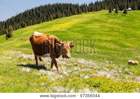 Cow Cath Loitering On Green Pasture Meadow