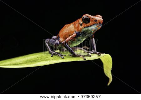 poison dart frog Costa rica and Nicaragua. Beautiful red blue poisonous animal from the central american tropical rain forest. Macro exotic amphibian poster