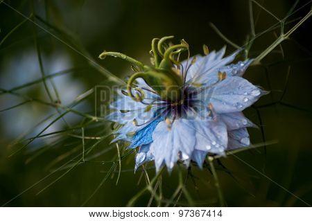 Blue Nigella Focus On Seedpod