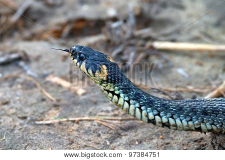 Close-up Grass Snake