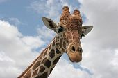 Reticulated giraffe head shot with lue sky and clouds in the background. poster