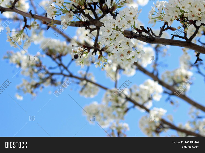 Spring Snow Crabapple Image Photo Free Trial Bigstock