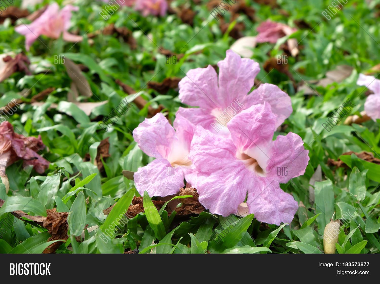 Pink Flowers Tabebuya Image Photo Free Trial Bigstock