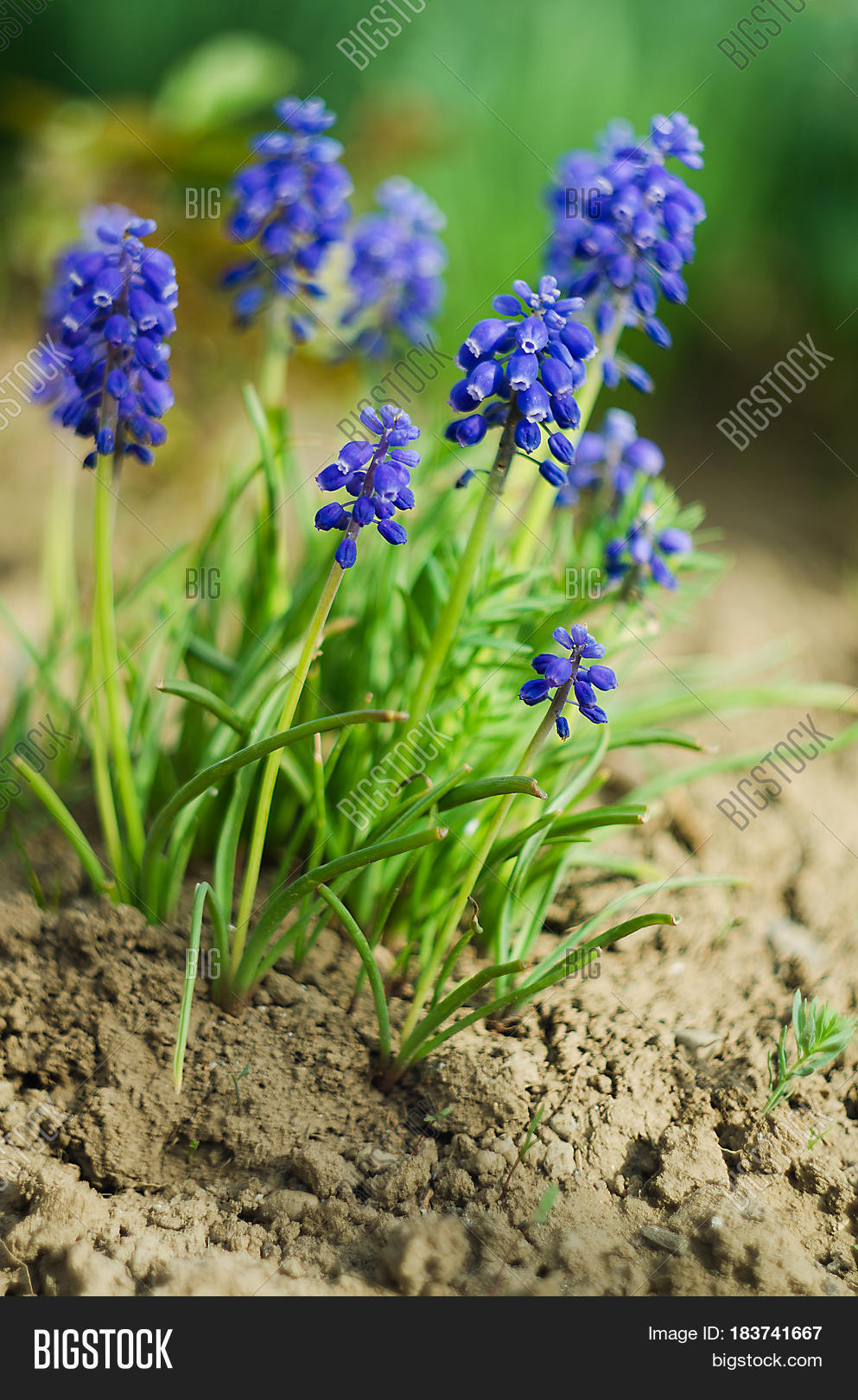 Small Blue Flowers Image Photo Free Trial Bigstock