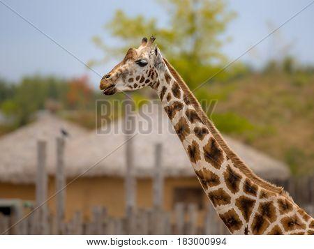 Southern Giraffe Near African Village