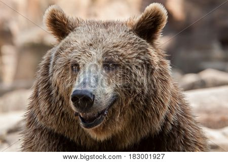 Eurasian brown bear (Ursus arctos arctos), also known as the European brown bear.
