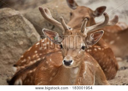 Fallow deer (Dama dama). Wildlife animal.