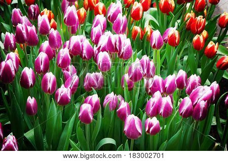 closed Early tulips colorful green leaf background