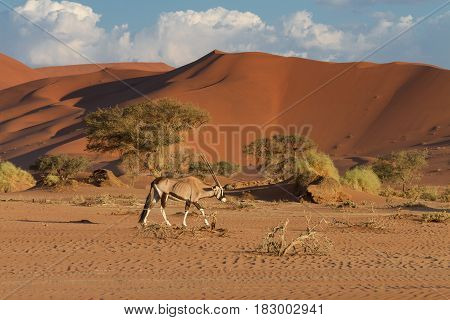 Oryx in front of the Sossusvlei dunes Namibia Africa
