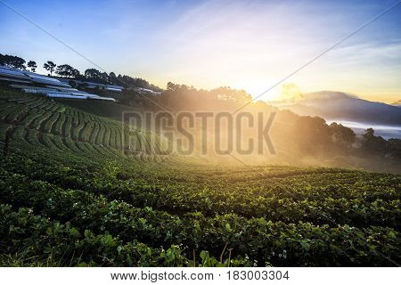 Lanscape Of Strawberry Field In The Mornning.