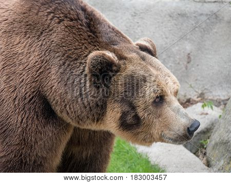 Eurasian brown bear (Ursus arctos arctos) also known as the European brown bear.