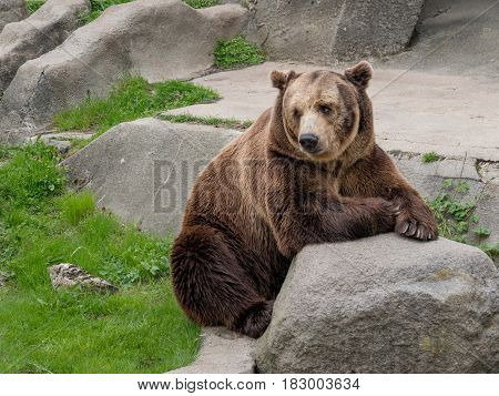 Eurasian brown bear (Ursus arctos arctos) on the rock