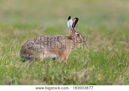 Portrait Of Brown Hare  (lepus Europaeus) In Green Meadow