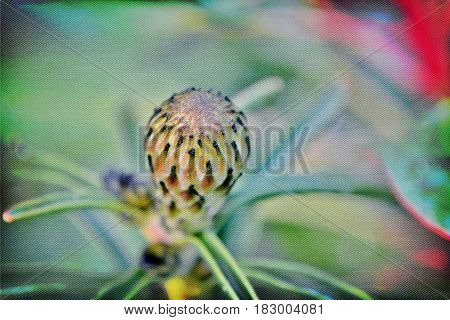 Close up of common pincushion protea bud