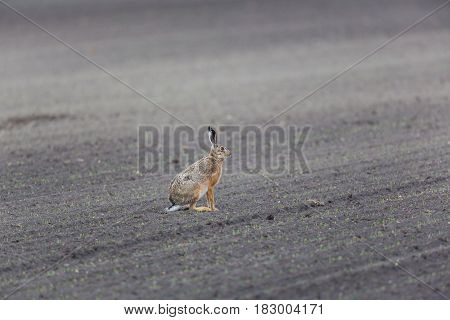 Brown Hare  (lepus Europaeus) In Agrarian Field