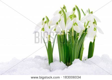 Snowdrop flower coming out from real snow isolated on white.