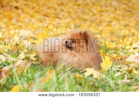 Funny autumn pomeranian dog. Dog in autumn park. Pomeranian in autumn yellow leaves
