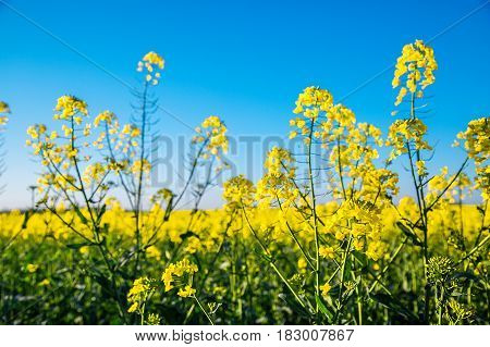 Canola Flowers, Colza. Blooming Rapeseed Flowers Close-up In Spring