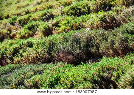 Closeup on row field of thyme during spring