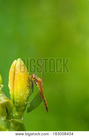 Dragonfly sitting on a flower daylily on blurred green background with place for text