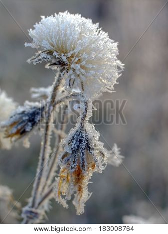 The Flowers Are Covered With Frost