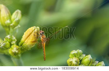 Dragonfly sitting on the flower buds of daylilies on blurred green background with place for your text