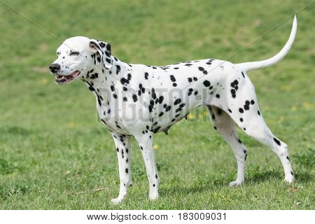 Adorable black Dalmatian dog outdoors in summer