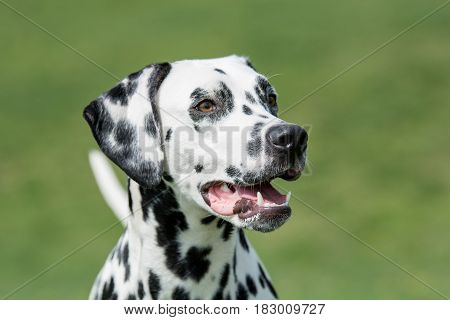 Close-up shot of the head of beautiful Dalmatian dog