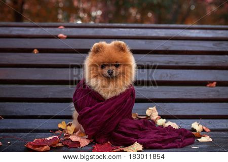 Pomeranian dog on the bench wrapped in the purple scarf. Beautiful autumn dog in a park with autumn leaves