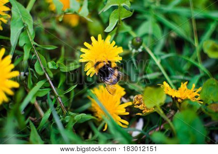 A large bumblebee on a yellow dandelion. Spring sunny mood.