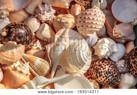 Background of mixed seashells with snails conch shells scallops clams and hermit crabs.