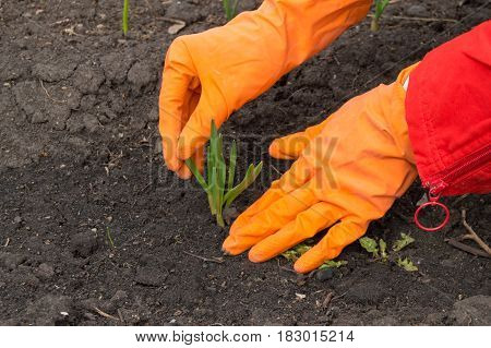 Man in orange rubber gloves takes care of young green sprout, life concept