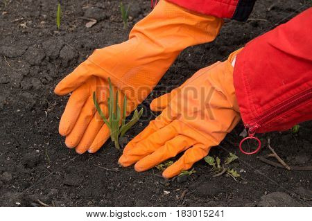 Man in orange rubber gloves takes care of young green sprout. New life concept.