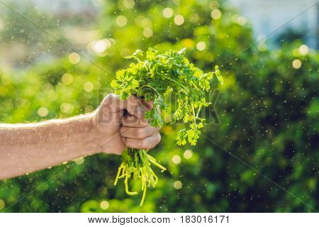 Hand Holding Cilantro In The Farm And Splashing Water Sunrise