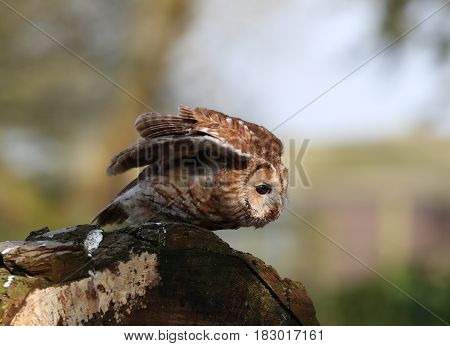Portrait of a Tawny Owl about to take off on a tree stump in woodland