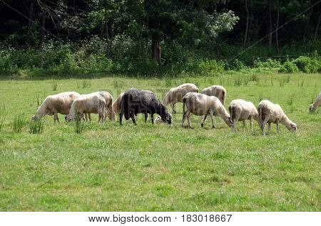 PLESIVICA, CROATIA - JUNE 11: A herd of sheep grazing on sunny meadow in the countryside Plesivica in continental Croatia on June 11, 2016.