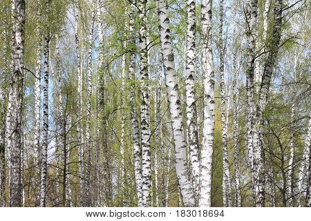 Trunks of birch trees in forest in spring