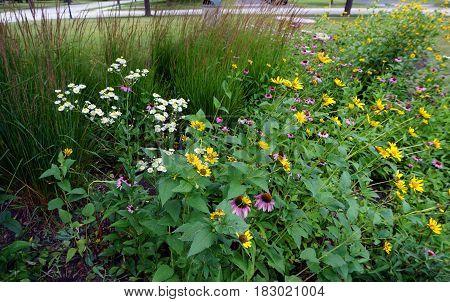 Oxeye daisies (Leucanthemum vulgare), purple coneflowers (Echinacea purpurea) and Prairie rosinweed flowers (Silphium integrifolium) bloom together during July in Joliet, Illinois.