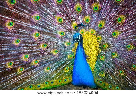 Peacock. Portrait Of Beautiful Peacock With Feathers Out. Close Up Of Peacock Showing Its Beautiful
