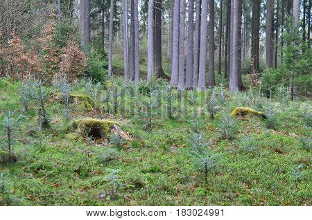 newly planted forest South Bohemia Czech Republic