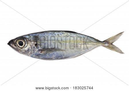 Selar crumenophthalmus Bigeye scad fish isolated on white background.
