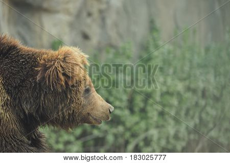 Closeup Of Wildlife Brown Grizzly Bear In Nature Forest During Rainy Season