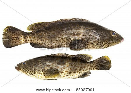 Grouper fish isolated on a white background.