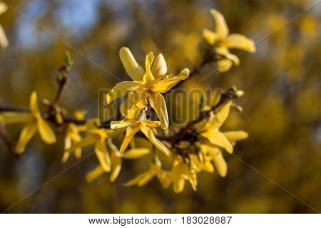 Spring floral background with blooming yellow forsythia flowers on a sunny day