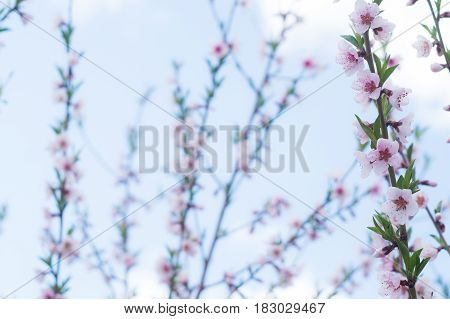Flowering branch of a peach on background of blue sky