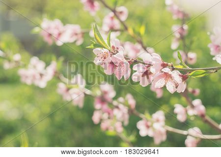Flowering branch of a peach on background of greenery