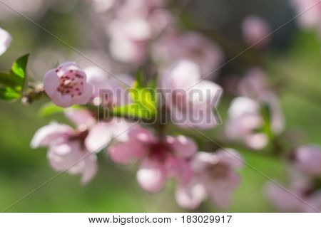 Flowering branch of a peach on background of greenery. Blurred image. Background