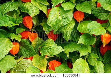 Physalis Texture Plant