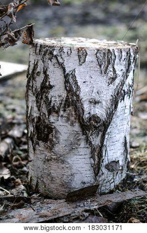 Birch log on the ground. Single firewoods.