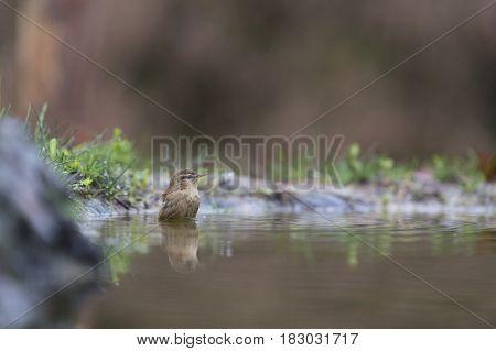 Bathing Eurasian wren in nature